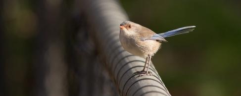 Splendid Fairywren (female) @ Serpentine Dam