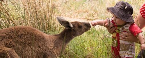 Western grey kangaroo @ Heirisson Island, Perth