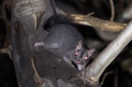 Brush-tailed phascogale @ Mundaring