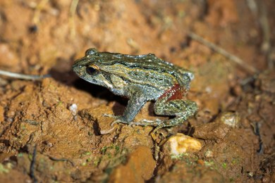 Quacking froglet @ Whistlepipe Gully, Lesmurdie