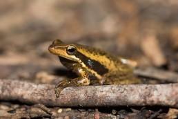 Slender Tree Frog @ Gosnells