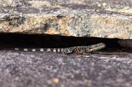 Ornate dragon @ Sullivan Rock, Mt Cooke