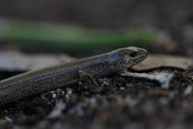 Two-toed Earless Skink