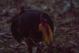 Male Brush-turkey