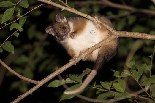Common ringtail possum @ Warriewood Wetlands, Sydney, NSW