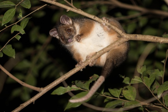 Common ringtail possum @ Warriewood Wetlands, Sydney, NSW