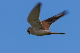 Nankeen Kestrel @ Ferguson Valley