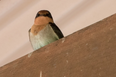 Welcome swallow @ Ferguson Valley