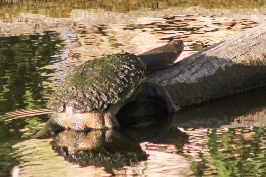 Oblong turtle @ Tomato Lake, Belmont