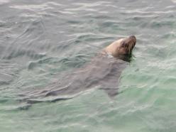 Australian sea lion @ Esperance
