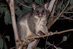 Common brush-tailed possum @ John Okey Park, Gosneslls