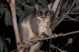 Common brush-tailed possum @ John Okey Park, Gosneslls