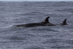 Female Orca