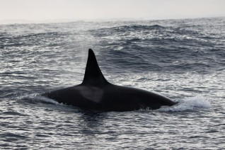 Orca Male @ off Rottnest