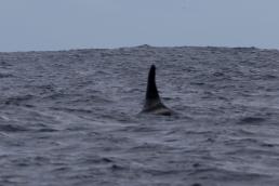 Orca Male