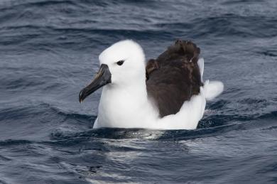 Juvenile Yellow-nosed Albatross