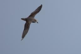 Soft-plumaged Petrel