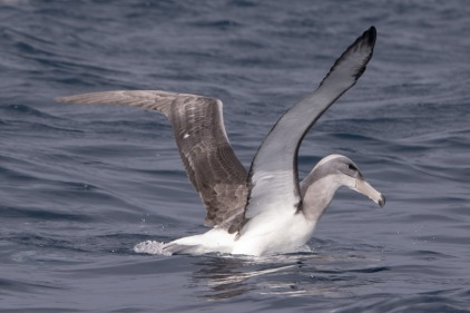 Shy Albatross - another rarity @ Perth Canyon