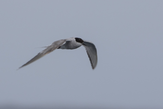 Artic Tern - another rare species