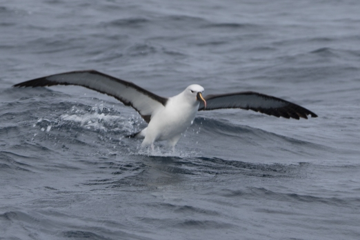 Yellow-nosed Albatross