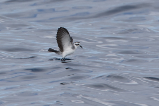 White-headed storm Petrel