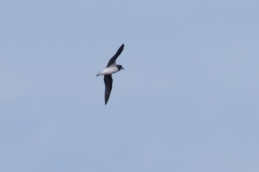 Soft-plumaged Petrel