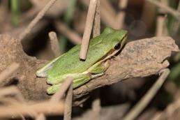 Slender tree frog
