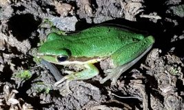 Slender tree frog @ Wellard Wetlands