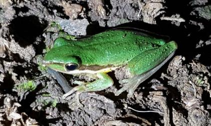 Slender tree frog @ Wellard Wetlands