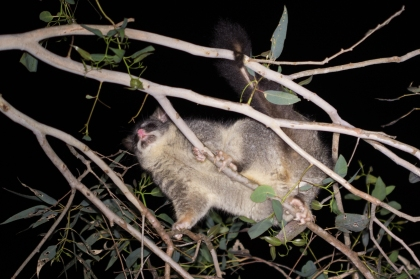 Common brush-tailed possum @ Hestor Park, Langford