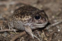 Moaning frog @ John Okey Park, Gosnells
