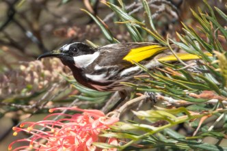White-cheeked honeyeater @ Piney Lakes, Melville