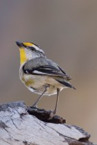 Striated pardalote @ Piney Lakes, Melville