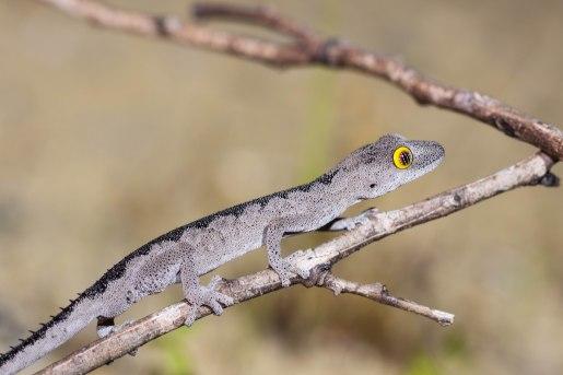 Southwest spiny-tailed gecko @ Two Rocks