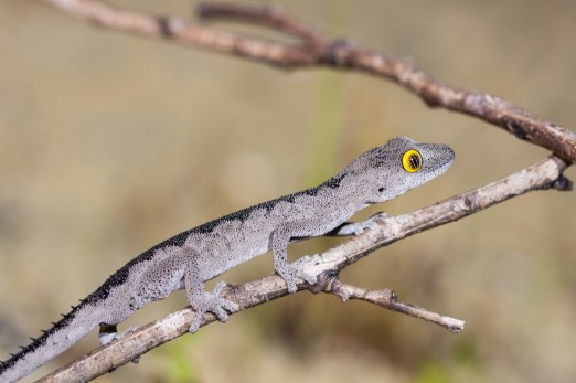 Southwest spiny-tailed gecko @ Two Rocks