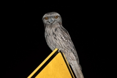 Tawny frogmouth @ Canning Dam