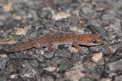 Speckled stone gecko @ Canning Dam