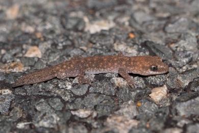 Clawless gecko @ Canning Dam