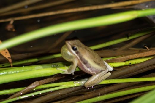 Slender Tree Frog calling