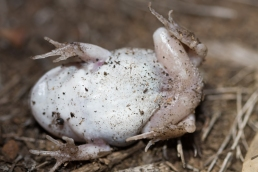 Moaning Frog (underside)