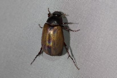 June Beetles (Subfamily Melolonthinae)