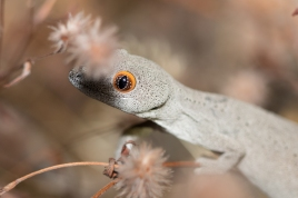 Southwest Spiny-tailed Gecko @ Queens Park Bushland