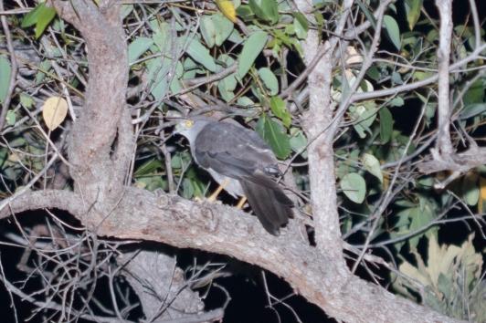 Collared sparrowhawk @ Queens Park Bushland