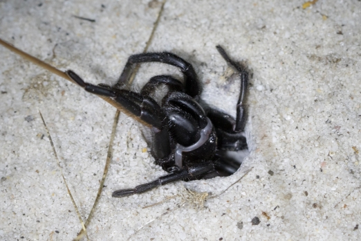 Trapdoor spider @ Queens Park Bushland