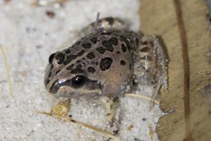 Banjo Frog @ Queens Park Bushland