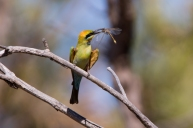 Rainbow Bee Eater @ Kensington Bushland
