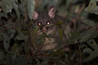 Common brushtail possum @ Gosnells