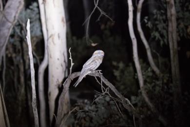 Tawny frogmouth @ Dryandra