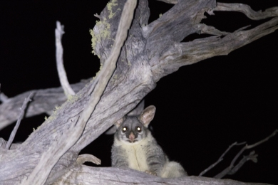 Common brushtail possum @ Dryandra
