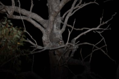 Common Brushtail Possum @ Hollywood Reserve